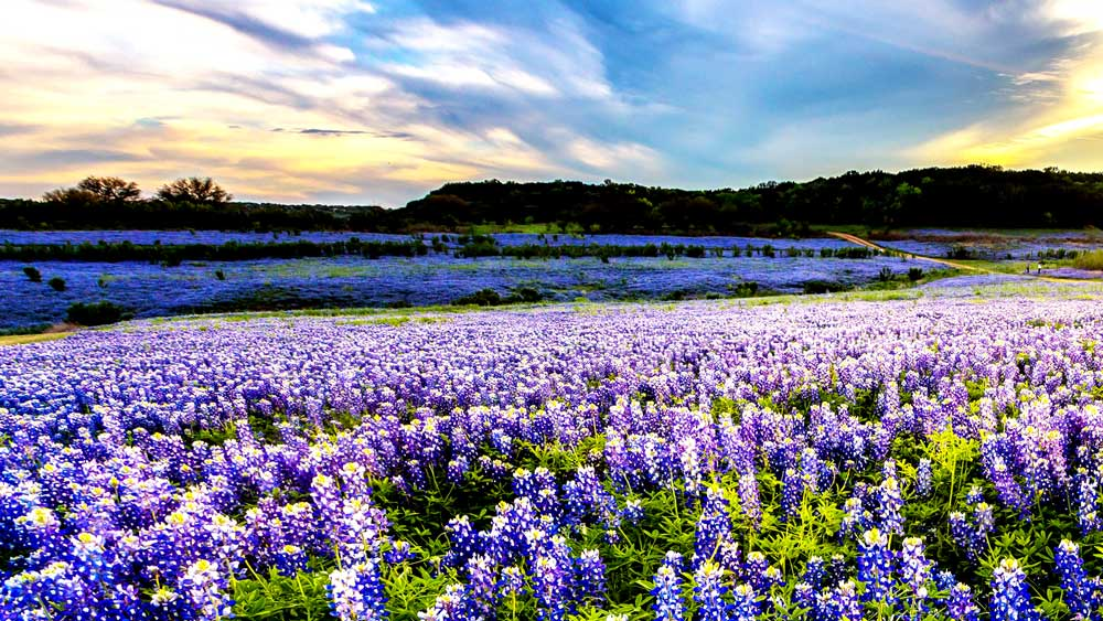 Field of Bluebonnets in Dallas Texas